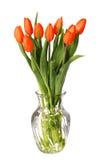 Czerwony tulipanu kwiat odizolowywający na bielu Obrazy Stock