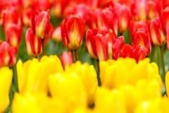 Czerwony tulipanu kwiatu łóżko z żółtymi tulipanami pierwszoplanowymi w parku Fotografia Stock