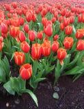 Czerwony tulipanu pole Zdjęcie Stock