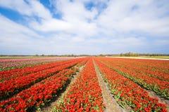 Czerwony tulipanu pole Zdjęcie Royalty Free