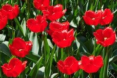Czerwony tulipanu pole Obrazy Royalty Free
