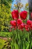 Czerwony tulipanu pole w wiosna ogródzie Fotografia Stock