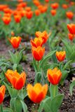 Czerwony tulipanu Tulipa Kaufmanniana w kwiatu łóżku przy Wielkanocnym czasem Zdjęcia Royalty Free