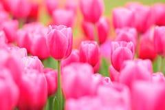 Czerwony Tulipses Zdjęcia Royalty Free