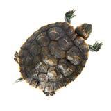 Czerwony uszaty żółw Zdjęcia Stock