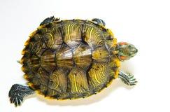 Czerwony uszaty żółw odizolowywający na białym tle najlepszy widok Obrazy Stock