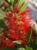 Czerwony velvety kwiat Zdjęcia Stock