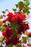 Czerwony viburnum Fotografia Stock