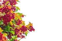 Czerwony viburnum Obraz Royalty Free