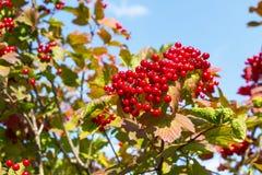 Czerwony viburnum na drzewie Zdjęcie Royalty Free
