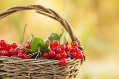 Czerwony viburnum w łozinowym koszu Fotografia Royalty Free