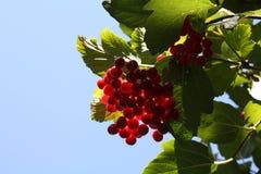 Czerwony viburnum w ogródzie Obraz Stock