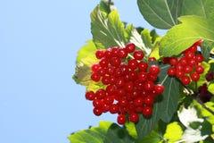 Czerwony viburnum w ogródzie Obraz Royalty Free