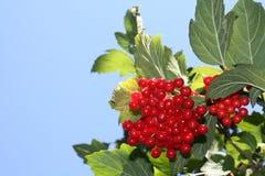 Czerwony viburnum w ogródzie Zdjęcia Royalty Free