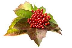 czerwony viburnum z liśćmi Obraz Royalty Free