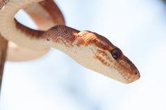 Czerwony wąż zdjęcie royalty free