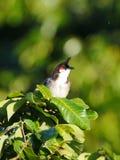Czerwony wąsaty Bulbul ptak umieszczający na gałąź obrazy royalty free