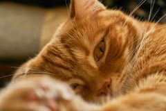 Czerwony włosiany kota dreamily uśpiony śpi lounging, zakończenie Zdjęcie Stock