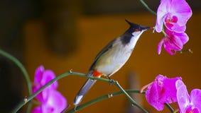 Czerwony wąsaty bulbul ptak Fotografia Royalty Free