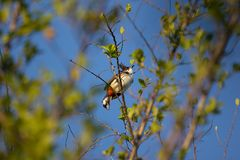 Czerwony wąsaty Bulbul ptak na drzewie Obraz Royalty Free