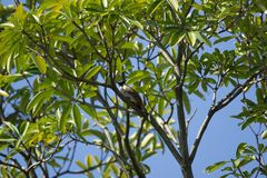 Czerwony wąsaty Bulbul ptak na drzewie Obrazy Stock