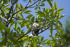 Czerwony wąsaty Bulbul ptak na drzewie Obrazy Royalty Free
