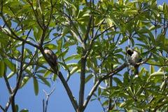 Czerwony wąsaty Bulbul ptak na drzewie Zdjęcie Royalty Free