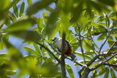 Czerwony wąsaty Bulbul ptak na drzewie Fotografia Royalty Free