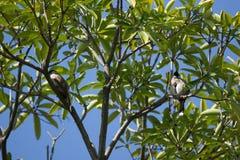 Czerwony wąsaty Bulbul ptak na drzewie Zdjęcia Royalty Free