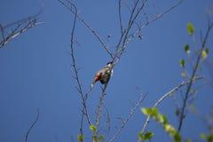 Czerwony wąsaty Bulbul ptak na drzewie Obraz Stock