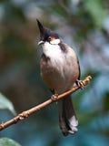 Czerwony wąsaty Bulbul (Pycnonotus jocosus) Fotografia Stock