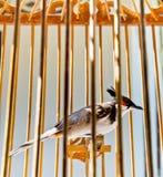 Czerwony wąsaty bulbul w birdcage Zdjęcie Royalty Free
