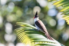Czerwony wąsaty Bulbul w Mauritius Fotografia Stock