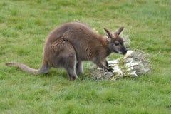 czerwony wallaby zdjęcia royalty free