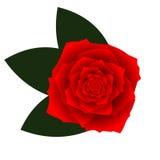 Czerwony wektor wzrastał na białym tle Zdjęcie Stock
