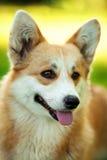 Czerwony Welsh corgi pembroke pies outdoors na zielonej trawie Zdjęcia Royalty Free