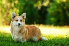 Czerwony Welsh corgi pembroke pies outdoors na zielonej trawie Obraz Stock