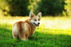 Czerwony Welsh corgi pembroke pies outdoors na zielonej trawie Obrazy Royalty Free