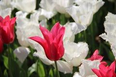 czerwony white Obraz Royalty Free