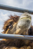Czerwony wielbłąd ogrodzenie. Fotografia Royalty Free