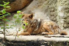 czerwony wilk Zdjęcie Stock