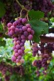 Czerwony winogrono zdjęcia stock