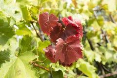 Czerwony winogrono opuszcza wśród zielonych liści winogrona Fotografia Stock
