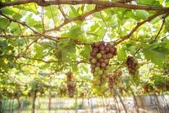 Czerwony winogrono przy Wietnam zdjęcie stock