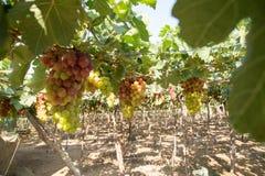 Czerwony winogrono przy Wietnam Fotografia Stock
