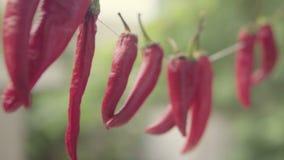Czerwony wysuszony chili pieprzu zrozumienie na drucie suszyć Zamyka w górę strzału zbiory wideo