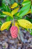 Czerwony yulan kwiatu serce Zdjęcia Stock