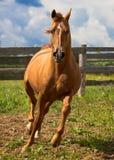 Czerwony złocisty arabski koń Fotografia Royalty Free