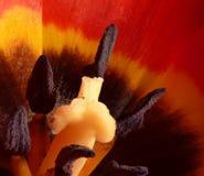 czerwony zamknięty makro- czerwony tulipan Zdjęcie Royalty Free