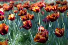 Czerwonych gradientowych tulipanów śródpolny chylenie w wiatrze Zdjęcie Stock